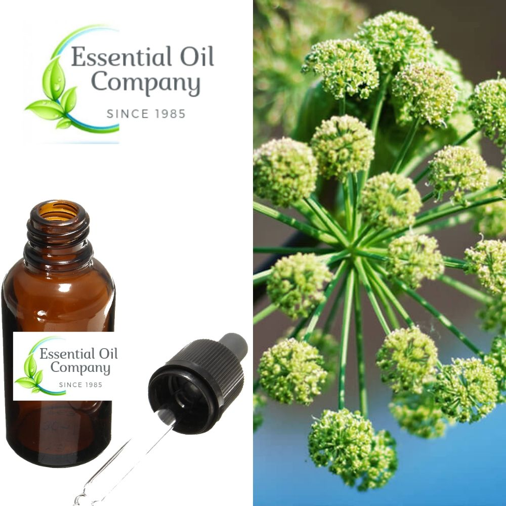 Angelica Root Essential Oil Manufacturer India